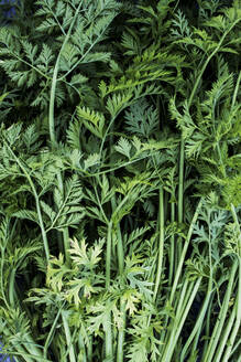 High angle close up of a bunch of carrot tops. - MINF14422