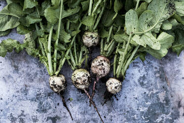 High angle close up of a bunch of freshly picked turnips on grey background. - MINF14425