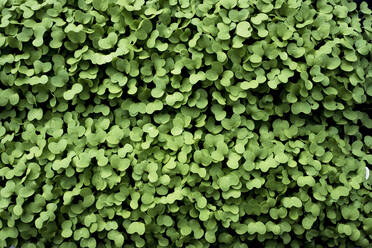 High angle close up of fresh green garden cress. - MINF14431