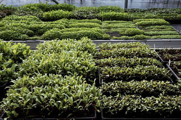 High angle close up of crates with a selection of freshly planted seedlings. - MINF14434