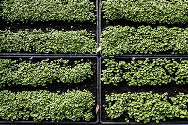 High angle close up of crates with a selection of freshly planted seedlings. - MINF14437