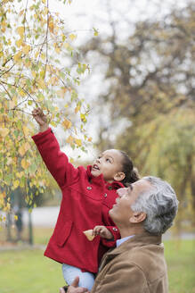 Grandfather lifting granddaughter reaching for autumn leaves on tree - CAIF24512