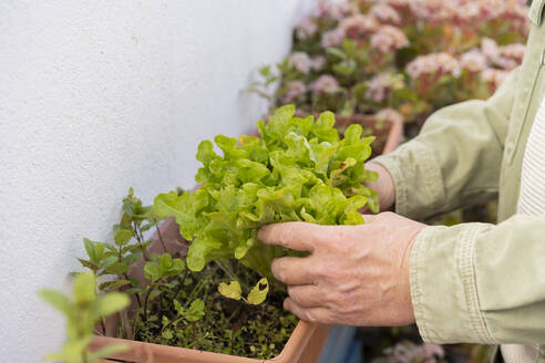 Close-up of senior man with lettuce in flower box - AFVF05883