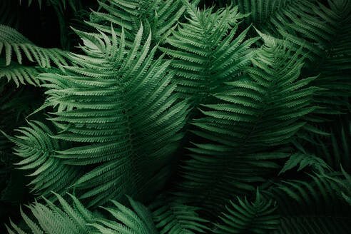 High Angle View Of Fern Leaves - EYF02142
