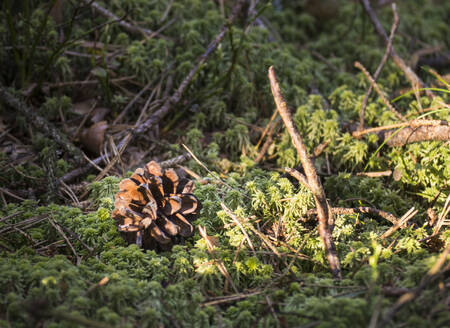Germany, Bavaria, Close-up of pine cone lying on moss in Upper Palatinate Forest - HUSF00122