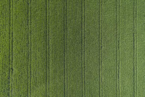 Germany, Bavaria, Drone view of vast green corn field in summer - RUEF02710