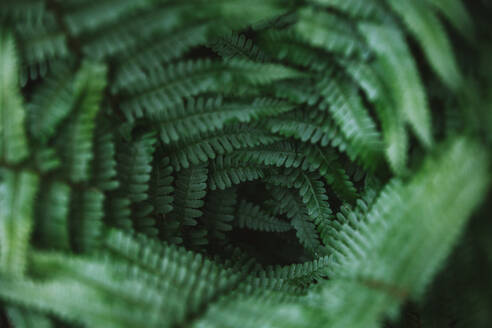 Close-Up Of Fern Leaves - EYF03468