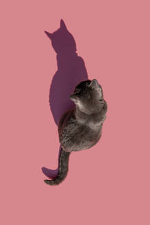 Studio shot of Russian Blue cat sitting against pink background - GEMF03535