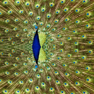 Fanned out tail of Indian peafowl (Pavo cristatus) - TLF00783
