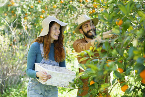 Happy couple picking organic oranges from a tree in the countryside - VSMF00120