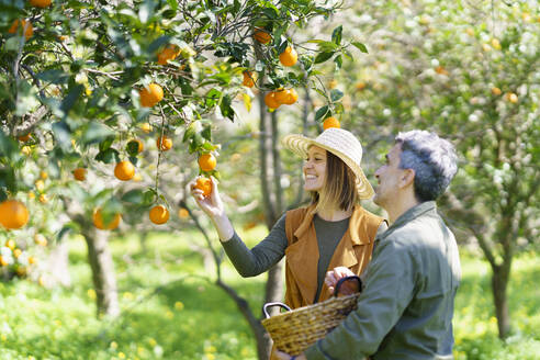Couple picking organic oranges from a tree in the countryside - VSMF00126