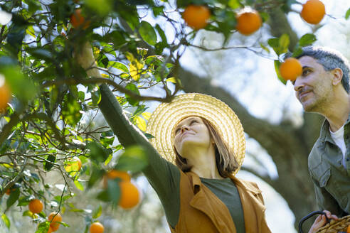 Couple picking organic oranges from a tree - VSMF00129