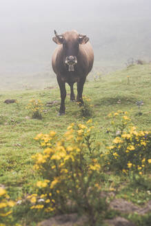 Spain, Cantabria, Lone cow grazing in fog - FVSF00109