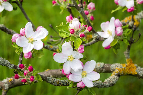 Germany, Branches of blossoming apple tree - NDF01043