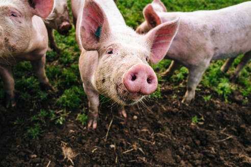 Portrait Of Pig Standing In Farm - EYF03870