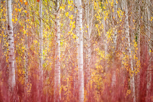 Spain, Province of Cuenca, Canamares, Birch trees and cultivated reeds in Serrania de Cuenca during autumn - DSGF01904