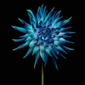 Close-Up Of Blue Flower Against Black Background - EYF04378