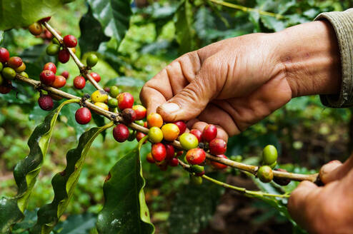 Close-Up Of Hand Holding Coffee Beans Growing On Tree - EYF04951