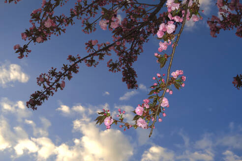 Germany, Low angle view of cherry blossom branches against sky - JTF01546
