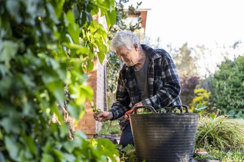 Senior man pruning plants in back yard - AFVF06099