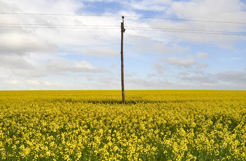 Blooming canola field and power pylon, Swellendam area, South Africa - VEGF01912