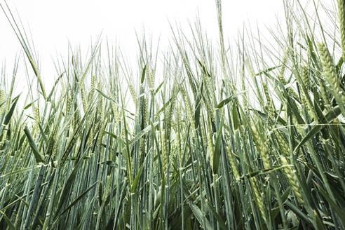 Germany, Close-up of barley (Hordeum vulgare) growing in spring - WFF00334