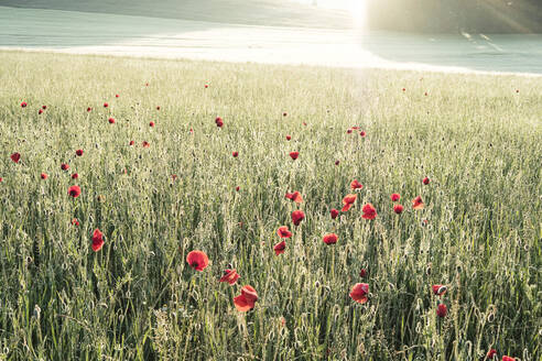 Germany, Bavaria, Berg, Corn poppies (Papaver rhoeas) blooming in meadow at dawn - WFF00337