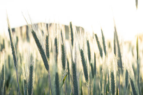 Germany,Close-up of rye (Secale cereale)growing in field at dawn - WFF00343