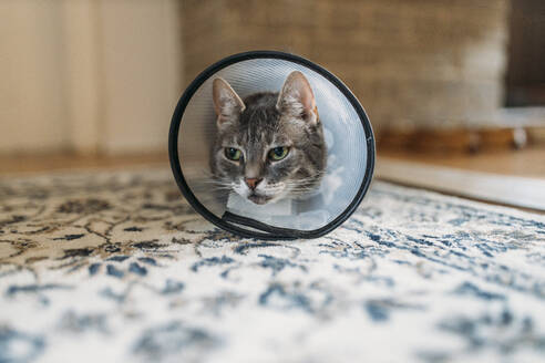 Portrait of cat with Elizabethan collar on carpet - GUSF03544