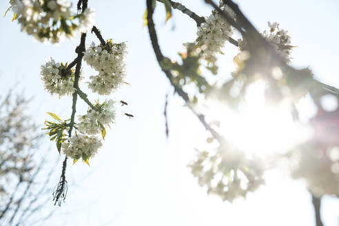 Close-up of honey bees flying over apple blossoms against sky during sunny day - WFF00379