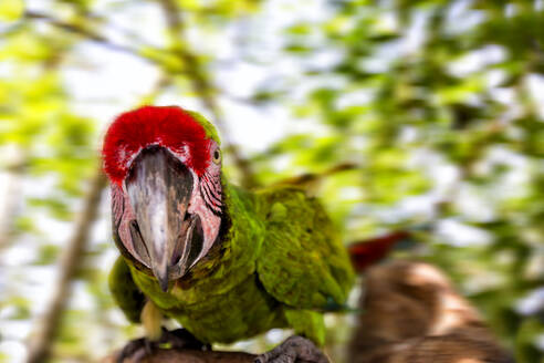 Close-up portrait of military macaw perching tree branch - DSGF02007