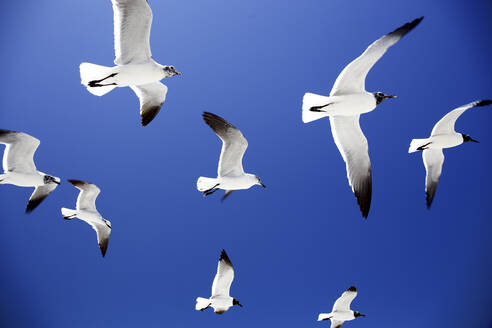 Low angle view of seagulls flying against clear blue sky - DSGF02016