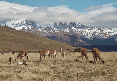 Guanacos grazing near Torres del Paine at the background, Chile - VEGF02006