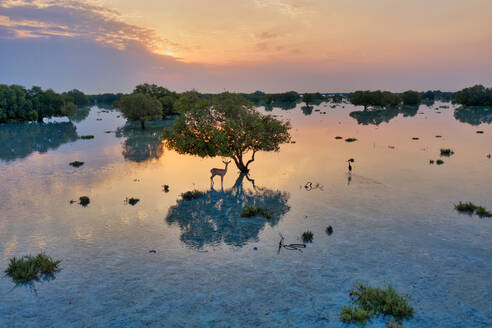 Aerial view of dear under a tree at flooded vegetation at Abu Al Sayayif during sunset, Abu Dhabi, UAE. - AAEF08098