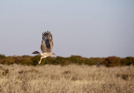 Eagle flying over the savannah, Etosha National Park,  Namibia - VEGF02073