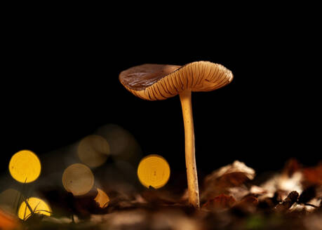Close-up of pluteus lutescens mushroom growing in forest - BSTF00140