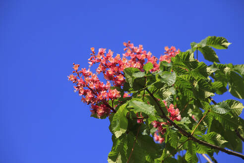 Germany, Low angle view of branch of blossoming chestnut tree - JTF01560