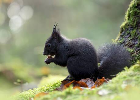 Portrait of black squirrel feeding on nut - BSTF00155