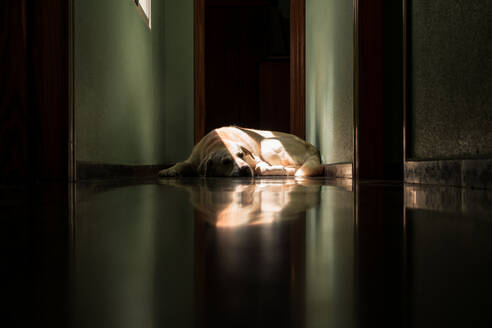 Labrador dog lying in the sun at home - CAVF80843