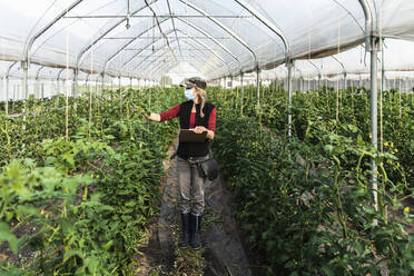 Female farm worker with surgical mask checking the growth of organic tomatoes in a greenhouse - MCVF00371