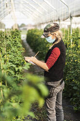 Female farm worker with surgical mask checking the growth of organic tomatoes in a greenhouse - MCVF00374
