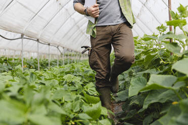 Farmer walking among the vegetables grown in the greenhouse, organic agriculture - MRAF00552