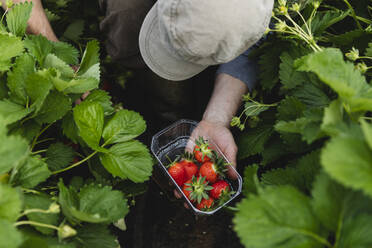 Male hand holding plastic bowl with freshly picked strawberries, organic agriculture - MRAF00555