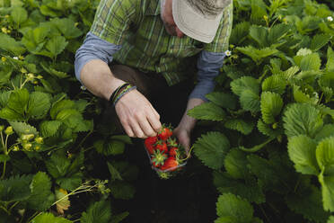 Farmer picking strawberries, organic farming - MRAF00561