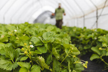 Organic strawberry cultivation - MRAF00564