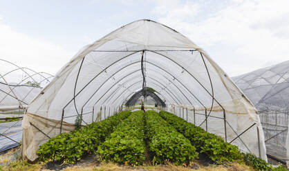 Organic greenhouse cultivation of strawberries, Verona, Italy - MRAF00567