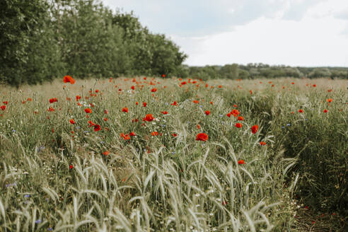 Field with poppies and wheat - VBF00056