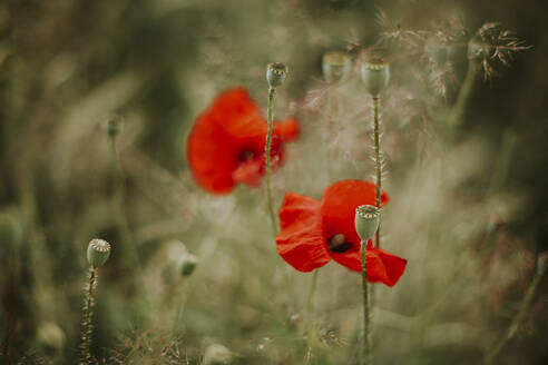 Poppies and poppy seed capsules - VBF00059