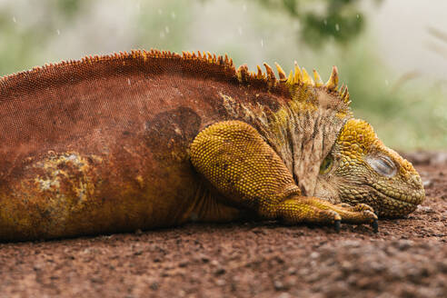 Galapagos land iguana resting on a red rock in the rain - CAVF81590