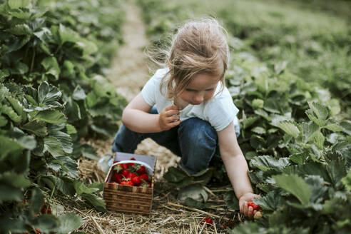 Girl picking ripe strawberries on field - VBF00084